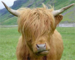 EMO Cows | Picdump #54 by Sinnfrei