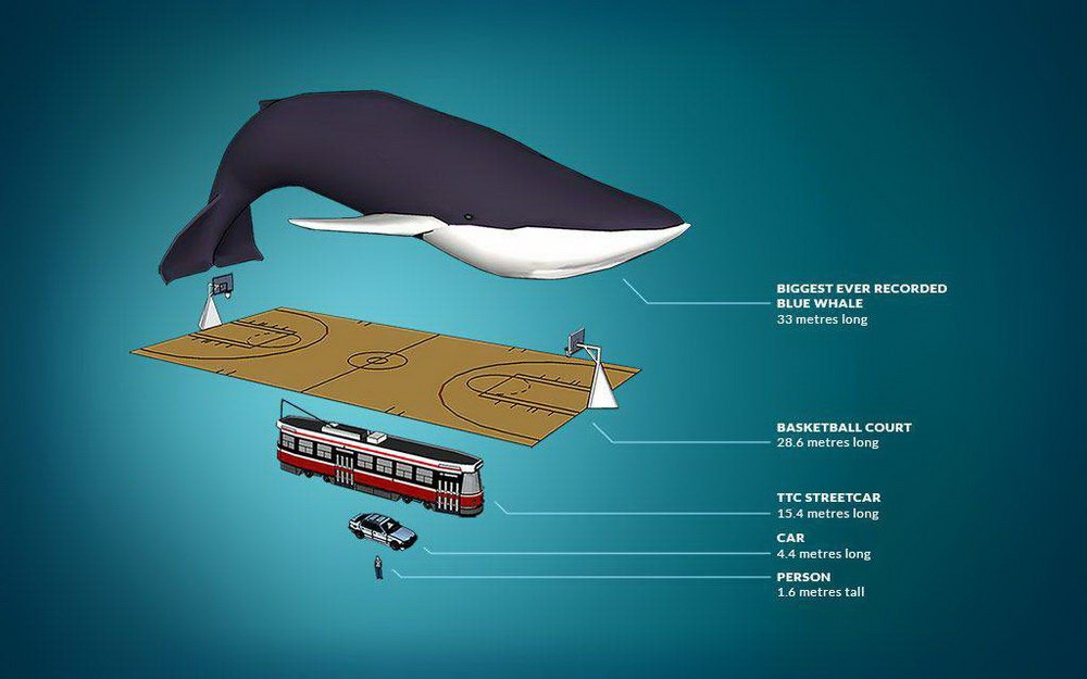 Adult blue whale